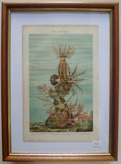 """Holothurie"" Chromo-Lithographie 1885 Holzrahmen"